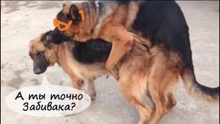 Немецкие овчарки,зимняя вязка собак видео