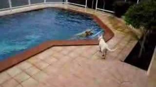 ラブラドールレトリーバーが思い切り元気よくプールに飛び込みます。1年...