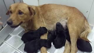 Chó Vàng đẻ 5 c๐n chó đen kì lạ.! GĊSQ 144