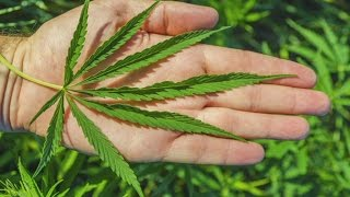 Uskoro legalizacija kanabisa u BIH