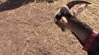 Предродовое залеживание и бронхит у козы. Нитокс 200.