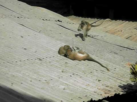 Monkey Business in Banjul (The Gambia)