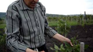 видео Грецкий орех