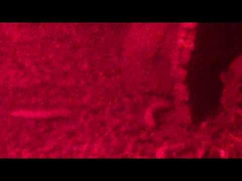 Leopard gecko eats a meal worm