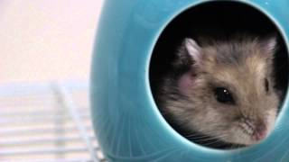 A dwarf hamster has an itchy swelling below the right ear - Part 1