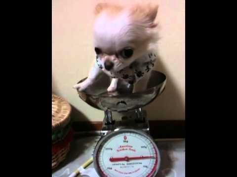 赤ちゃんチワワの体重測定