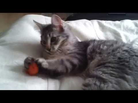 Cute Norwegian forest cat playing fetch