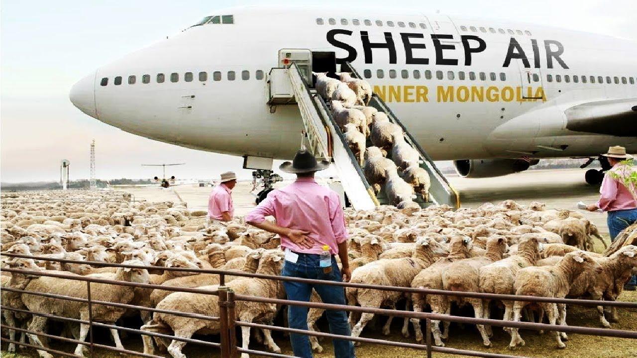 देखिये कैसे इतनी सारी भेडो को हवाई जहाज से ट्रांसपोर्ट किया जाता है || How Sheeps Are Transported