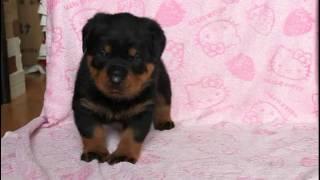 関西ロットワイラー子犬販売ページ→ http://www.at-breeder.net/rottwei...