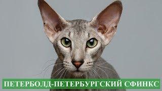 Петерболд петербургский сфинкс