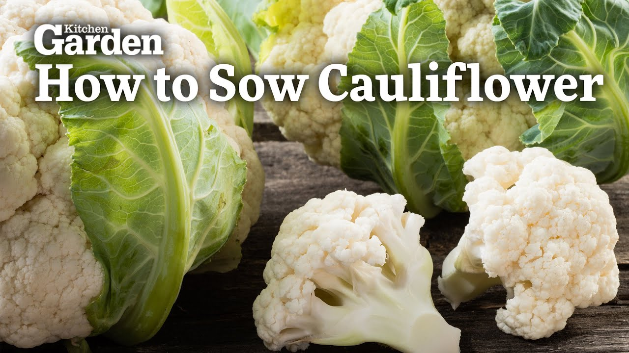 Kitchen Gardener Magazine Sowing Cauliflower How To Guide Kitchen Garden Magazine May