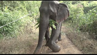 Journey of rescued broken leg elephant Kabu