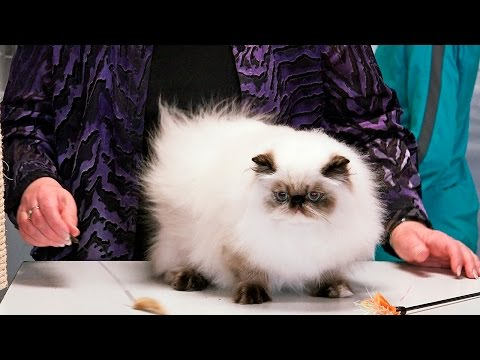 CFA World Show 2014, Persian Kittens, Purple Show set 5 - himmies