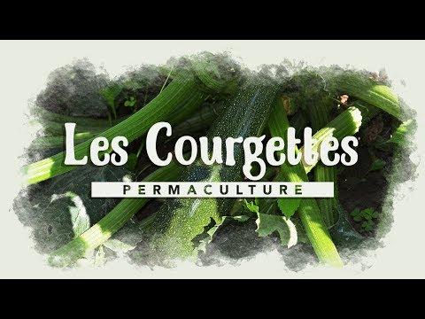 Tout savoir sur la culture de la courgette youtube - Culture de la courgette ...