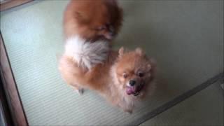 ライオンVSグリズリー ポメラニアンカンフー Pomeranian Kung Fu その47...