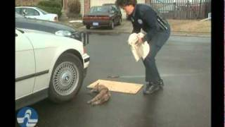 Pet Emergency First Aid - Cats DVD car accidents - Preview