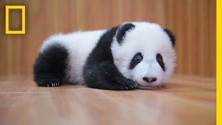 Raising Cute Pandas: It's Complicated | National Geographic thumbnail