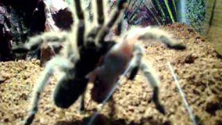 Tarantula Eating Pinky Mouse