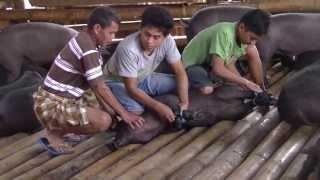 Funeral ceremony Tana Toraja, Sulawesi (July 2013 - beware: shocking)