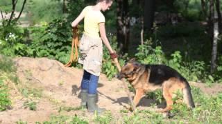 Сархан. Немецкая овчарка. Собака в добрые руки