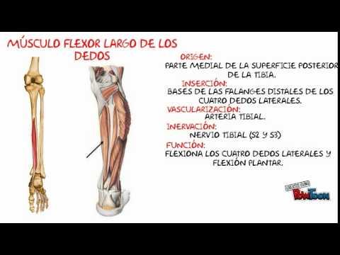 MÚSCULOS POSTERIORES Y LATERALES DE LA PIERNA - YouTube