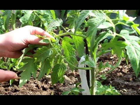 Вопрос: Можно ли сеять томаты в зиму в почву, когда ночью 2-4 градуса?