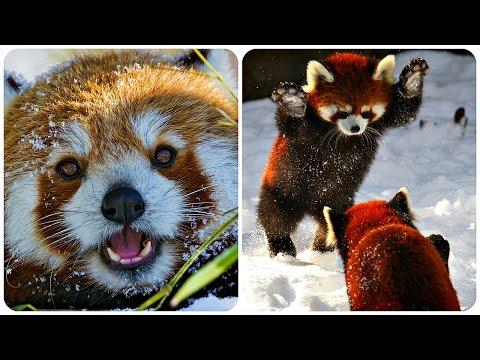 Прикольные панды (42 фото) -