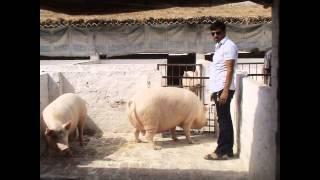 pig farming in india 09355551347