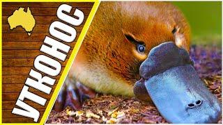 Утконос, животные Австралии, окружающий мир, утконос факты