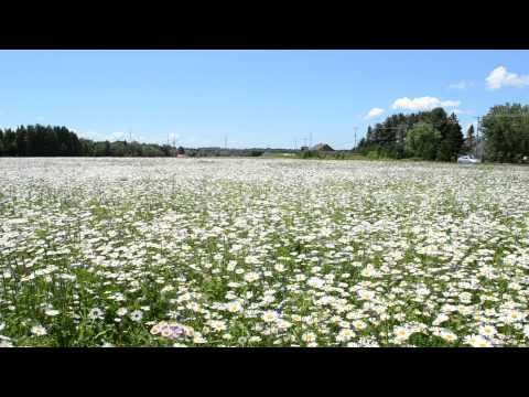 daisy fields ou  champs de marguerites