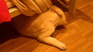 Golden Retriever Puppy Zarra Playing With Towel.mov