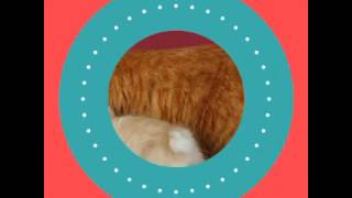 Кошка породы  Бобтейл!!)О уходе , характере можете узнать в описании!!)