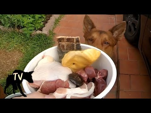 Kelpie eating Prey Model Raw vs Dog Kibble | Dog Food Mukbang