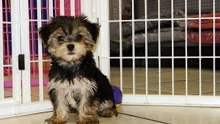 Yorkshire Terrier, Puppies, For, Sale, In, Denver, Colorado, Co, Fort Carson, Black Forest, Welby, G