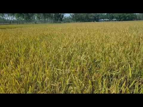 Rice harvesting maseen