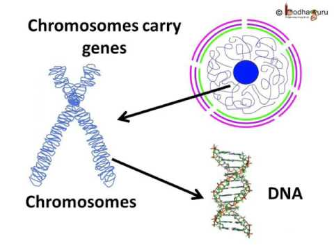 Biology - Cell nucleus, chromosome and gene - English