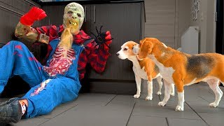 Dogs Prank Zombie with RC Spider : Funny Dogs Louie and Marie
