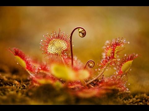РОСЯНКА или Drosera, ПЛОТОЯДНОЕ экзотическое растение, ест насекомых. Советы по уходу