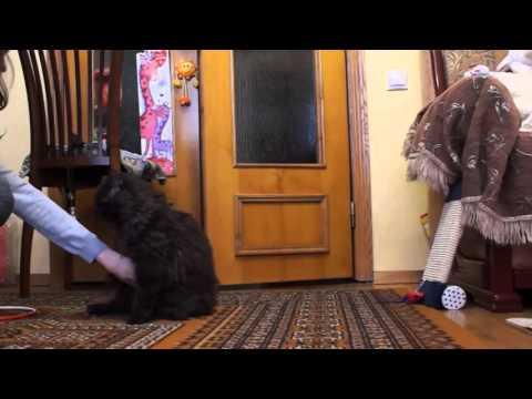 Selkirk Rex - Cat tricks - Дрессированный кот