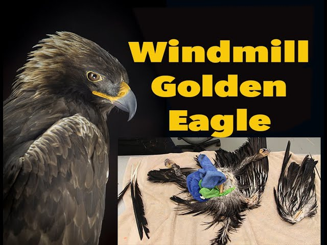 Windmill kills another Eagle. It cuts one wing off. Art of Taxidermy