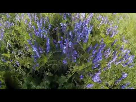 Горошек мышиный (растения полезные и ядовитые для кроликов)