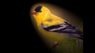 Ghanari(Canary) ... Mehdi Bozorgmehr