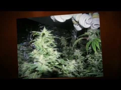 How to grow pot without getting caught. Indoor growing CFL grow lights //CFL-GrowLight.com - YouTube & How to grow pot without getting caught. Indoor growing CFL grow ...