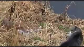 Кот лису прогнал смешно животные видео