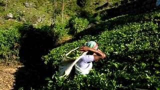 Sri Lanka - Hindi woman working at Tea Plantation (Lipton)