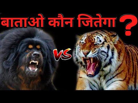 Tibetan Mastiff Vs Tiger | Who Win The Fight ? | Best Animal Fight | Tiger vs Tibetan Mastiff - DOB