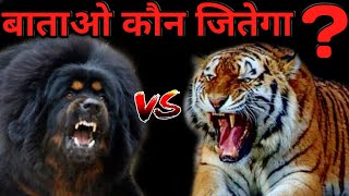 Tibetan Mastiff Vs Tiger | Who Win The Fight ? | Best Animal Fight | Tiger vs Tibetan Mastiff  DOB