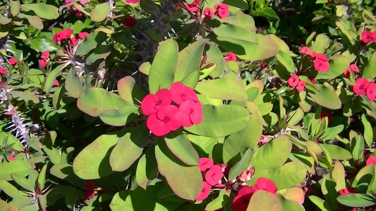 Espinas de cristo euphorbia milii var splendens www for Plantas ornamentales wikipedia