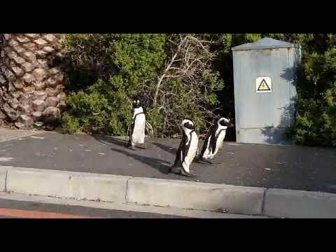 Penguins On The Loose In SA's Empty Streets