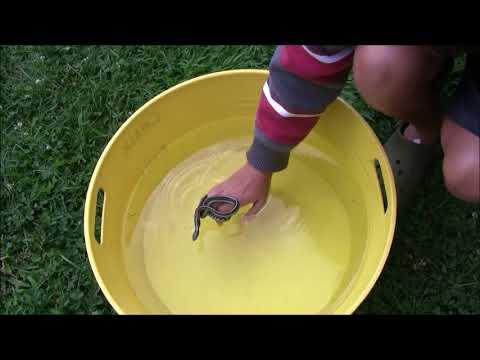 Can a Garter Snake Swim?!?!?!?!